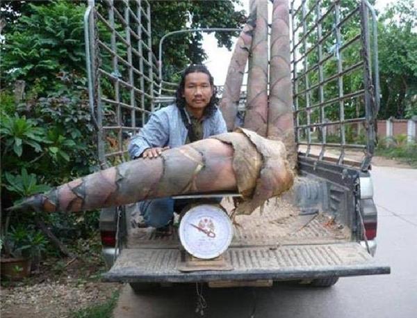Anh Naga Sen và một số cây măng được thu hoạch (Ảnh: Internet)