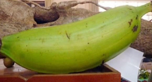 Quả chuối tá quạ nặng kỷ lục 1,3 kg. (Ảnh: Thời báo kinh tế Sài Gòn)