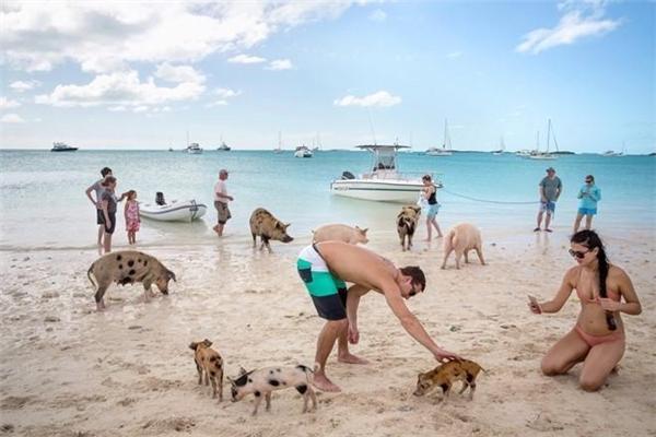 Đảo Big Major hay đảo lợn là một hòn đảo nhỏ không người sinh sống, nằm ở Exuma, Bahamas (Khối thịnh vượng chung). Nơi đây nổi tiếng với những chú lợn biết bơi thân thiện, đáng yêu. Ảnh: Nytimes