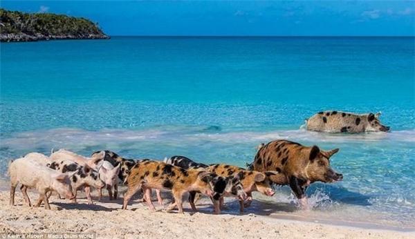 Có khoảng hơn 10 con lợn sống trên đảo. Nguồn gốc của chúng có nhiều câu chuyện khác nhau. Ảnh: Daily Mail.