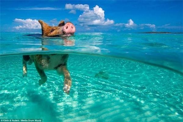 Người dân ở đảo Staniel cho biết họ đưa lợn tới đảo Big Major từ đầu những năm 1990. Gần đây, chúng đã trở thành một hiện tượng du lịch. Ảnh: Daily Mail.