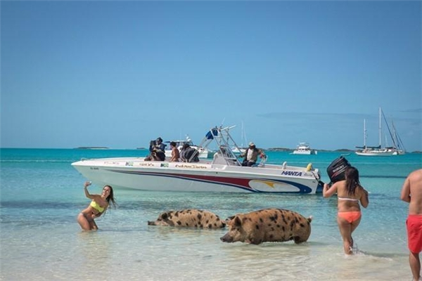 Những con lợn trên đảo rất thân thiện. Chúng phản ứng với du khách tùy theo thái độ của họ. Ảnh: Nytimes.