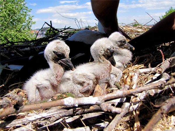 Mỗi năm đôi cò này lại cho ra đời một lứa cò con mới và cùng nhau nuôi dưỡng chúng trong khoảng thời gian ngắn ngủi từ tháng Ba đến tháng Tám. (Ảnh: Internet)