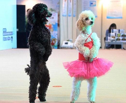 """""""Bước nhảy hoàn vũ"""" phiên bản cún cưng. (Ảnh: Internet)"""