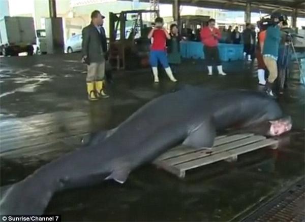 Con cá mập dài 5m và nặng hơn 1 tấn.