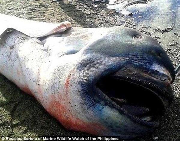 Con cá mập miệng rộng này trôi dạt vào bãi biển ở Marigondon, Philippines.