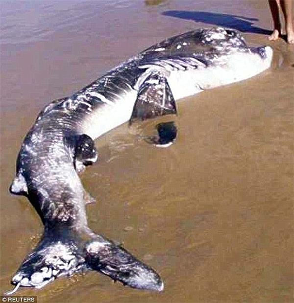 Cá mập miện rộng trôi dạt vào bờ biển Nam Phi tháng 4.2002.