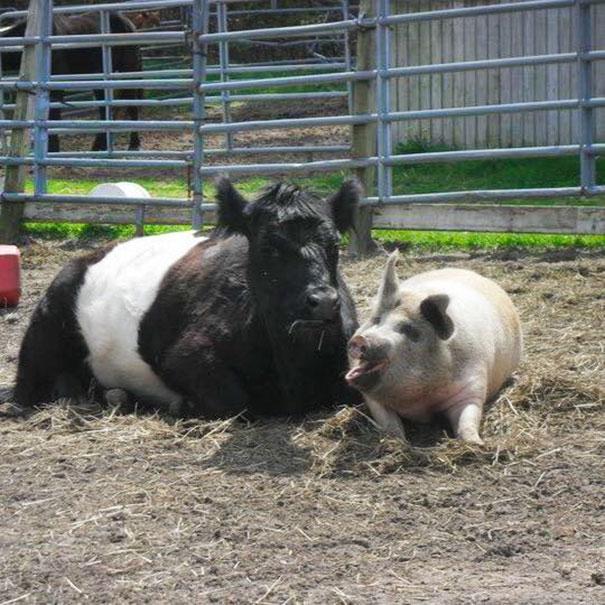 Bò Baby và lợn Lulu (Ảnh: Internet)