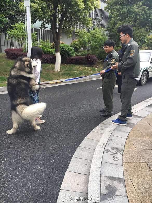 Không nhặt được mồm với chú chó Alaska sàm sỡ người đi đường