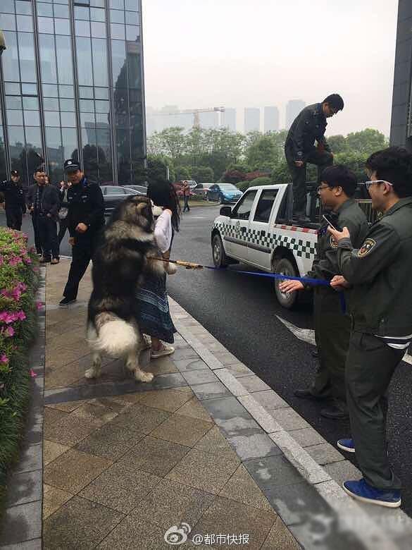 Lực lượng công an cũng rất vất vả lôi con chó đang bám riết lấy cô gái ra xe. (Ảnh: Internet)
