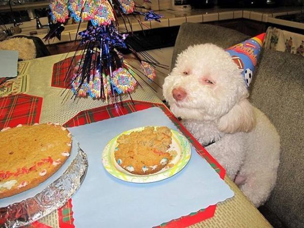 """Biểu cảm đáng yêu tới """"phát ngất"""" này của chú chóRiley từng làm cộng đồng mạng xôn xao suốt một thời gian dài. Và thực ra thì không chỉ trong bữa tiệc sinh nhật của mình mà hàng ngàyRileycòn có những biểu cảm vô cùng """"khó đỡ"""" khiến cô chủ nhiều khi còn quên mất rằngRileychỉ là... một chú chó.(Ảnh: Internet)"""