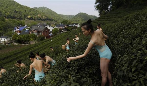 Trong hình là một nhóm các cô gái xinh đẹp trong trang phục ballet gợi cảm, vừa múa vừa hái chè.