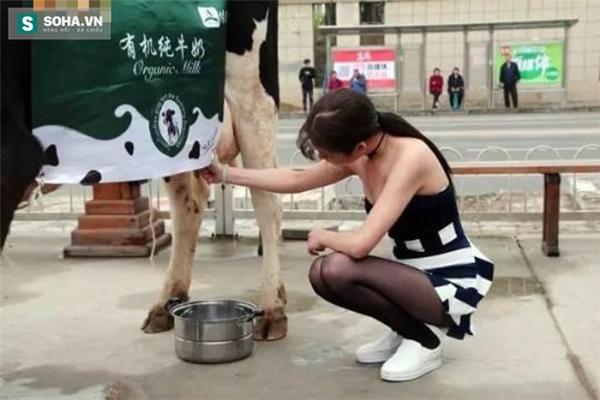 Cô gái trẻ xuất hiện cùng con bò sữa trên phố đã thu hút được nhiều người qua đường.