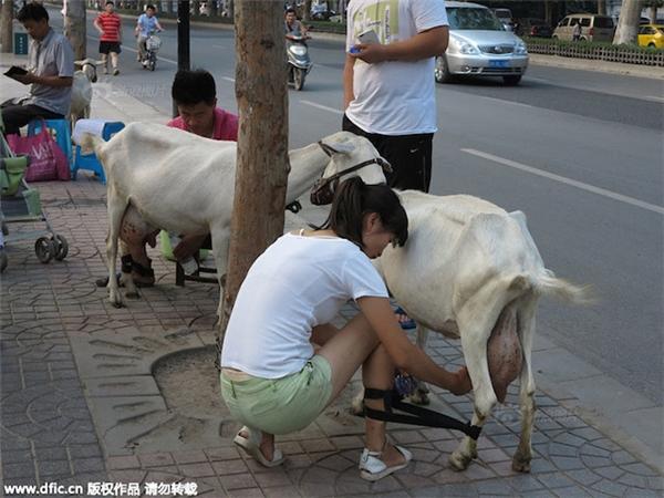 Sữa dê được vắt trực tiếp trên phố cũng khá đắt khách.