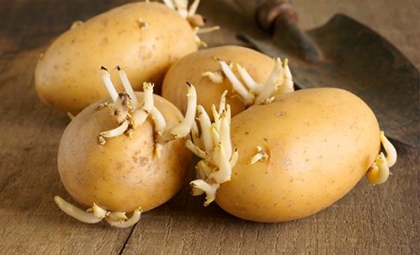 hay củ khoai tây đã mọc mầm như thế này!