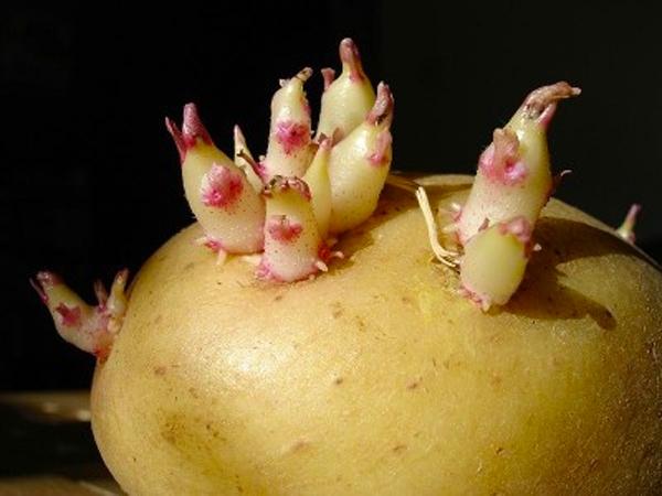 Đừng dại mà ăn nếu nhìn thấy khoai tây có dấu hiệu này