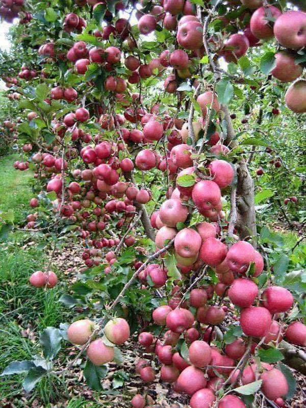 1. Hoa mắt chưa, chắc số quả trên cây táo phải nhiều hơn số lá mất - Ảnh: Facebook.