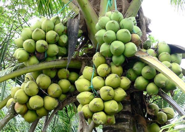 10. Một cây dừa có 6 chùm quả khủng thế này không phải dễ thấy đâu nhé.