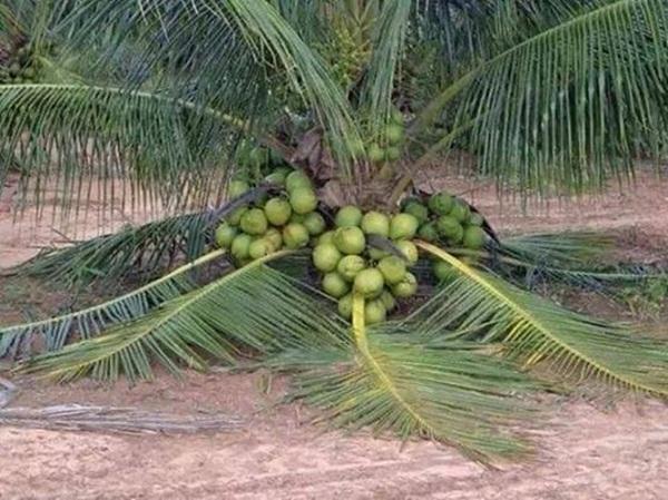 13. Cây dừa lùn sai quả đến kỳ lạ. Thế này thì ăn dừa no mà không cần leo rồi.