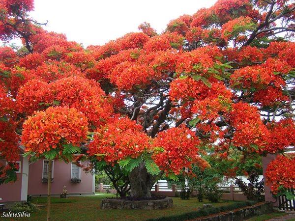 17. Cây phượng nở hoa làm đỏ rực cả một vùng trời.