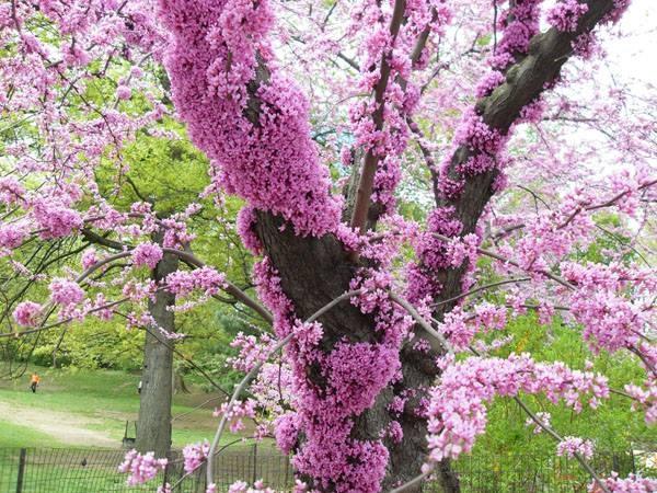 18. Hoa mọc khắp các cành và ngay cả trên thân cây luôn.