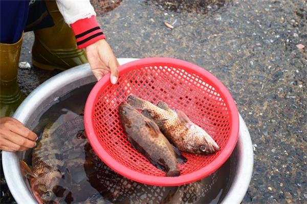 Cá mú tươi sống do ngư dân đánh bắt về để trong chậu cũng không bán được. Ngày thường, loại cá đặc sản này có giá 200.000-300.000 đồng/kg nhưng giờ bán chưa đến 100.000 đồng vẫn không có người mua.