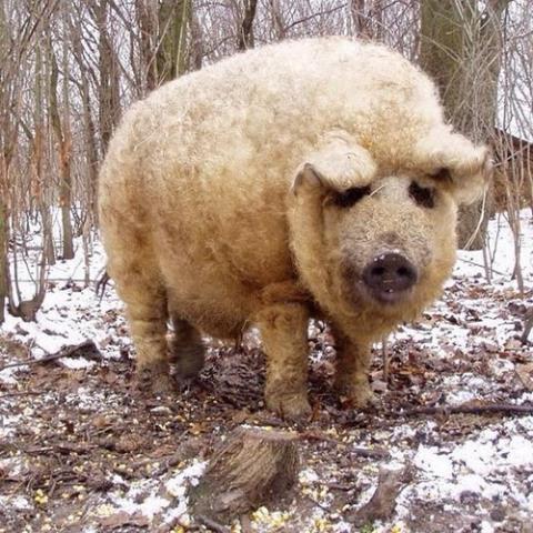 Lợn Mangalitsa có lông như cừu.