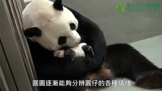Gấu trúc con bật khóc nức nở khi được đoàn tụ với mẹ