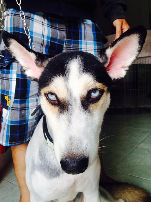"""Chỉ cần nhìn mặt thôi cũng đủ hiểu chú Husky này """"cay cú"""" thế nào rồi. (Ảnh: Facebook My Trần)"""