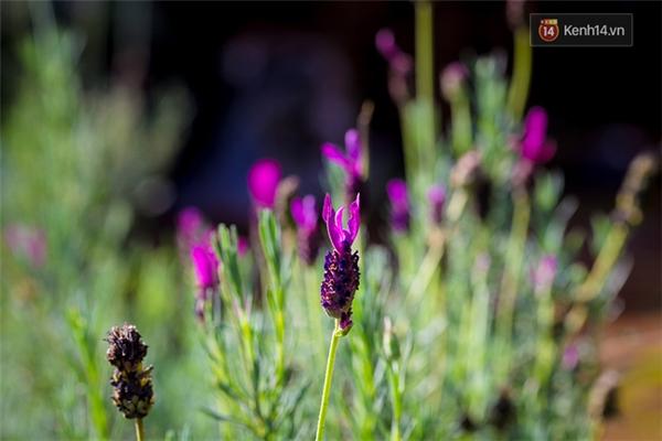 Lần đầu tiên, có cả một vườn hoa oải hương đẹp mê mải ở Đà Lạt!
