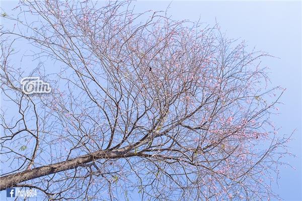 Vào khoảng tháng 4, những bông hoa đào núi ở Đồng Nai lại nở rộ, bất chấp tiết trời nắng nóng gay gắt.