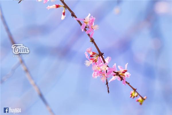 Hoa đào núi nở rộ đẹp lung linh giữa tiết trời 40 độ C