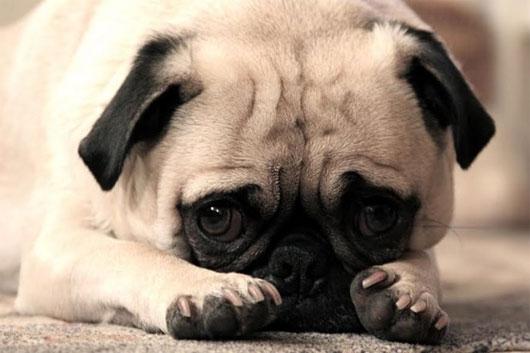 Chịu không nổi với hình ảnh đời là vạn ngày sầu của cún cưng