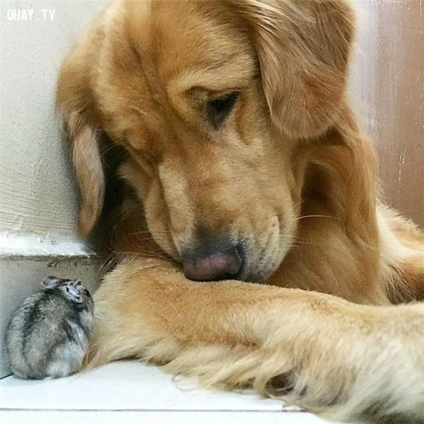 """Chú chóBobtừng nổi tiếng trên mạng xã hội khi có thể sống hòa thuận trong nhà cùng với một chú chuột đồng và 8 chú vẹt. Không rõBobđang tâm sự gì với anh bạn chuột đồng nhưng có vẻ như """"anh chàng"""" đang có nhiều điều """"phiền não"""".(Ảnh: Internet)"""