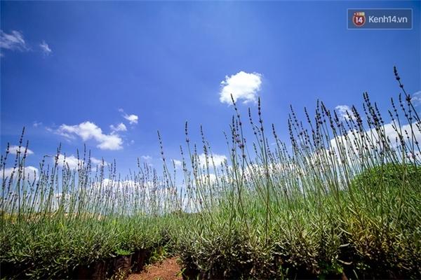 Đáng buồn thay, cánh đồng oải hương ở Đà Lạt lại bị giẫm nát