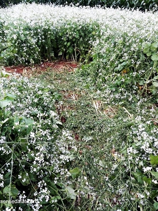 Vườn hoa cải trắng tan nát trước đó. (Ảnh: Internet)