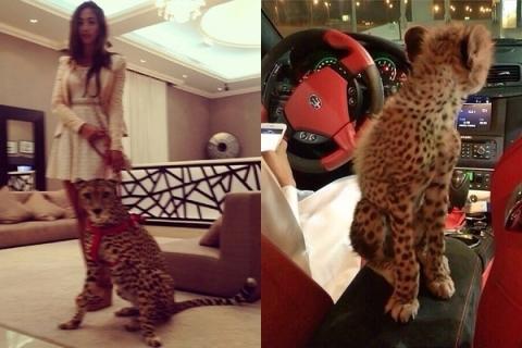 Thú cưng của hội nhà giàu Dubai là hổ, báo hay sư tử.