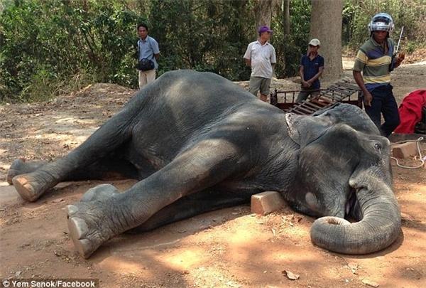 Chú voi cái Sembo nằm chết bên vệ đường do kiệt sức