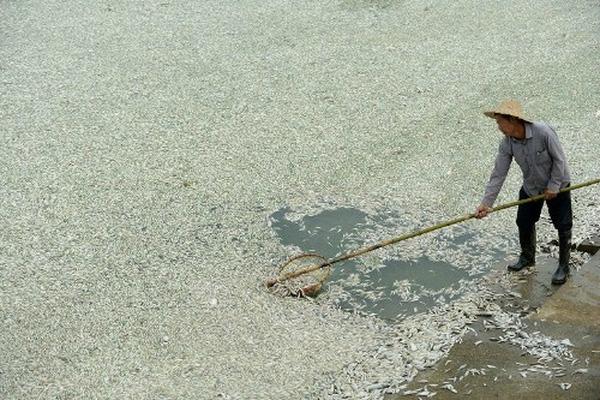 100 tấn cá chết phủ trắng sống ở Trung Quốc.
