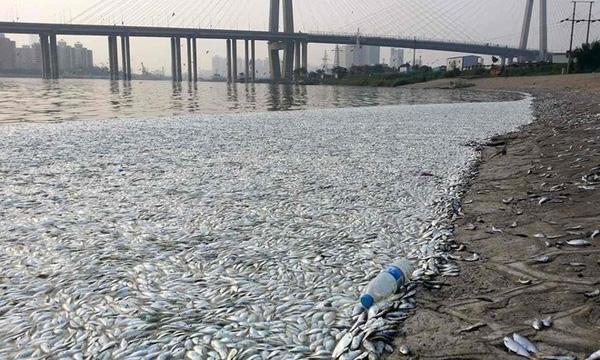 Hàng nghìn con cá chết bị đánh trôi dạt vào bờ sông.