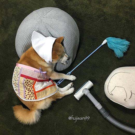 Chú chó Shiba này rất ngoan ngoãn và thương chủ, biết hút bụi và lau dọn nhà cửa nữa đấy. (Ảnh: fujisan99)