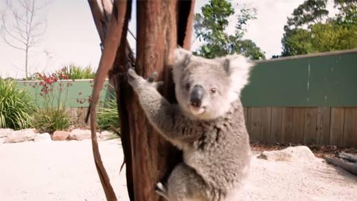 """""""Phát cuồng"""" chú gấu koala """"làm nũng"""" với gái xinh"""