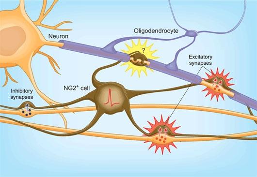 Người có số lượng tế bào thần kinh đệm lớn hơn sẽ có khả năng thông minh hơn.
