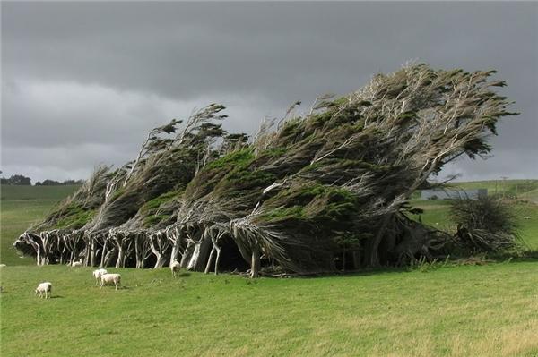 Những táncây bị gió thổi bạt đi ở New Zealand (Ảnh: flickr)