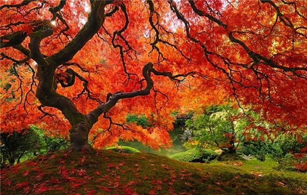 Một cây thích Nhật Bản trồng tại Oregon, Hoa Kỳ (Ảnh: falcor88, Tom Schwabel)