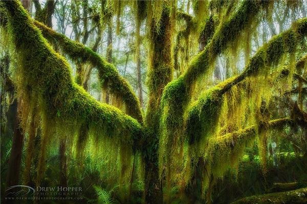 Một cây sồi miền nam phủ đầy rêu tại Oregon, Hoa Kỳ (Ảnh: Drew Hopper)