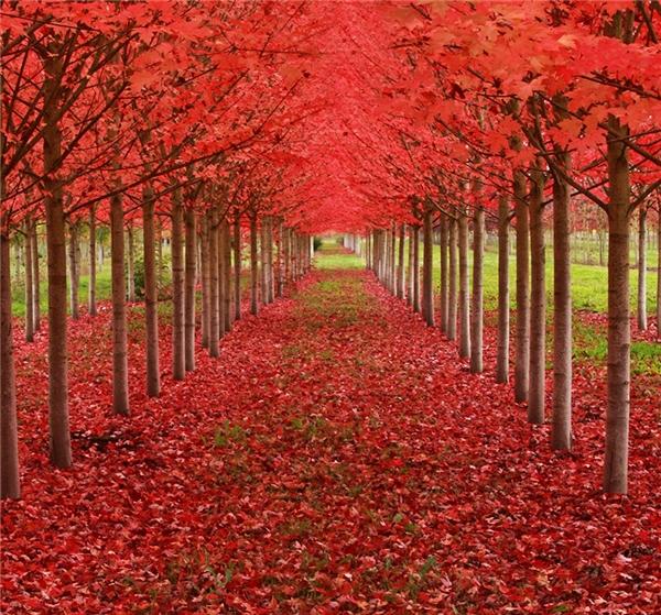 Những cây thích được trồng thẳng tắp ở Oregon, Hoa Kỳ (Ảnh: Ian Sane)