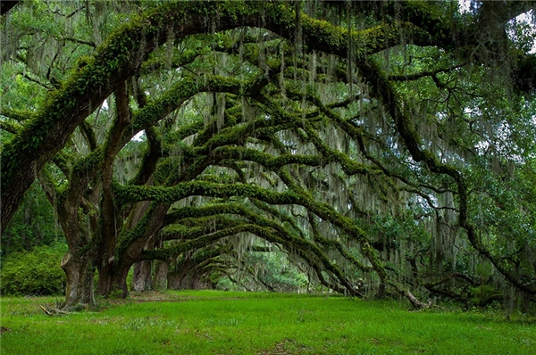 Hành lang Sồi ở Nam Carolina (Ảnh: Lee Sosby)