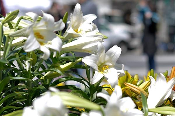 Hoa loa kèn được ví như cô thiếu nữ xinh đẹp. (Ảnh: Internet)