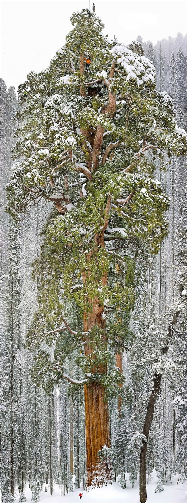 Cây cù tùng (cũng là cây lớn thứ 3 trên thế giới) ở California (Ảnh: Michael Nichols)